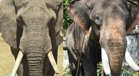 الفيل الاسيوي والافريقي