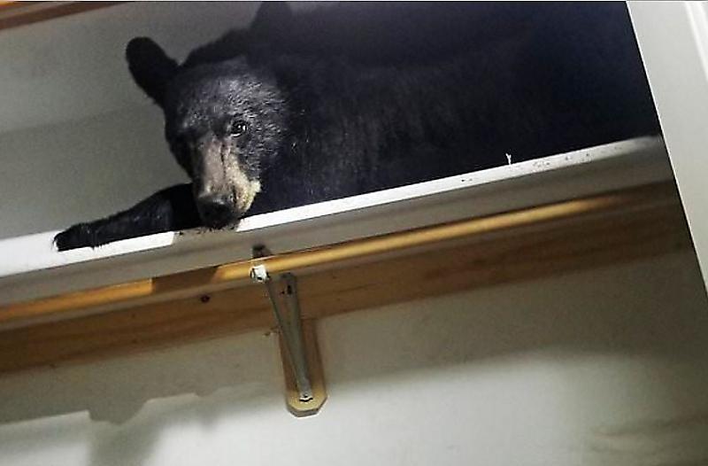 medved-ustroil-sebe-lezhanku-na-polke-v-shkafu-chastnogo-doma-v-ssha-foto-big