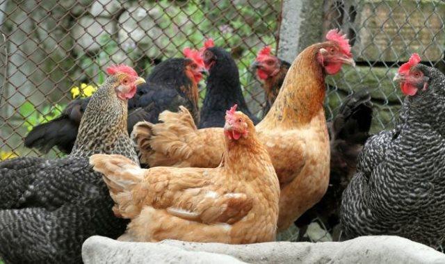 ننشر أسعار الدواجن واللحوم اليوم السبت 16-2-2019