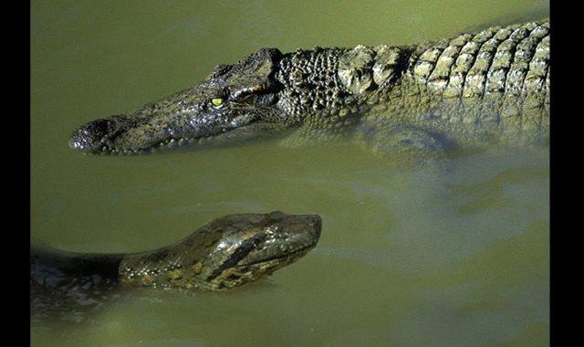 تمساح وأفعى