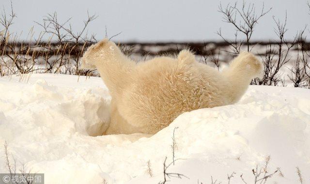 دب يلعب فوق الثلج
