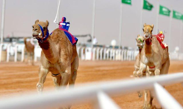 منافسات الهجن بمهرجان الملك عبد العزيز