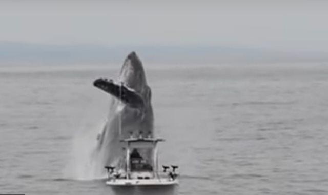 الحوت يقفز بجوار قارب الصيد