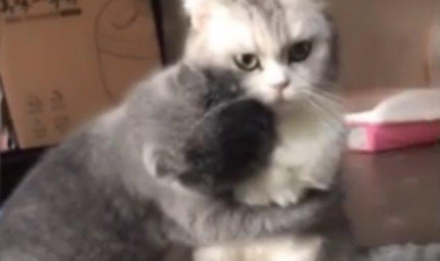 القط الرمادى يعانق زميله الأبيض