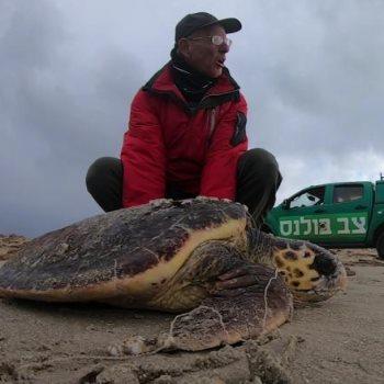 العثور على عشرات السلاحف المصابة بسواحل إسرائيل