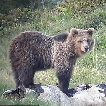 الدب الهارب
