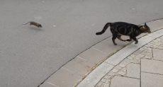 قط يهرب من فأر