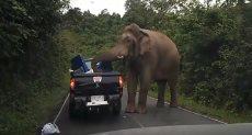 فيل كبير يهاجم سيارة