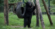 ماذا فعل دب لإنقاذ صديقه في غابات ولاية نورث الأمريكية