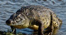 تمساح - أرشيفية