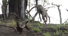 هجوم أم غرير العسل علي نمر