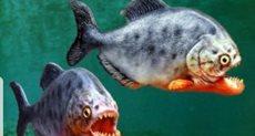 سمك بيرانا