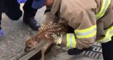 رجال إطفاء كاليفورنيا ينقذون غزالا عُلق بمصرف للمياه