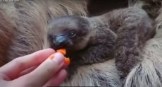 ولادة حيوان الكسلان