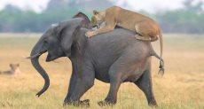 أحد الأسود يحاول السيطرة على الفيل الصغير