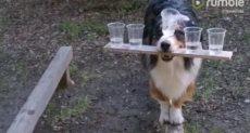 الكلب الموهوب يحمل 5 أكواب