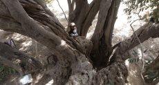 شجرة الزيتون الأقدم فى العالم بفلسطين