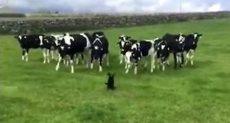 كلب وأبقار