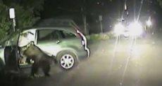 الدب يخرج من السيارة
