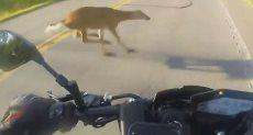 قبل اصطدام سائق الدراجة النارية بالغزالة