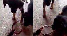 السرطان ينجح فى إيذاء أحد الكلبين
