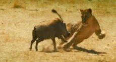 خنزير يهاجم أسد