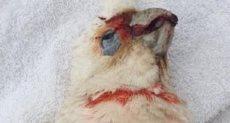 الطيور تسقط ميتة من السماء فى أستراليا