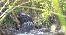 التمساح يلتهم الثعبان