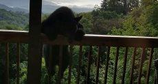 الدب يتسلق الشرفة