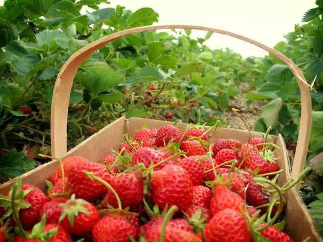 مزرعة فراولة