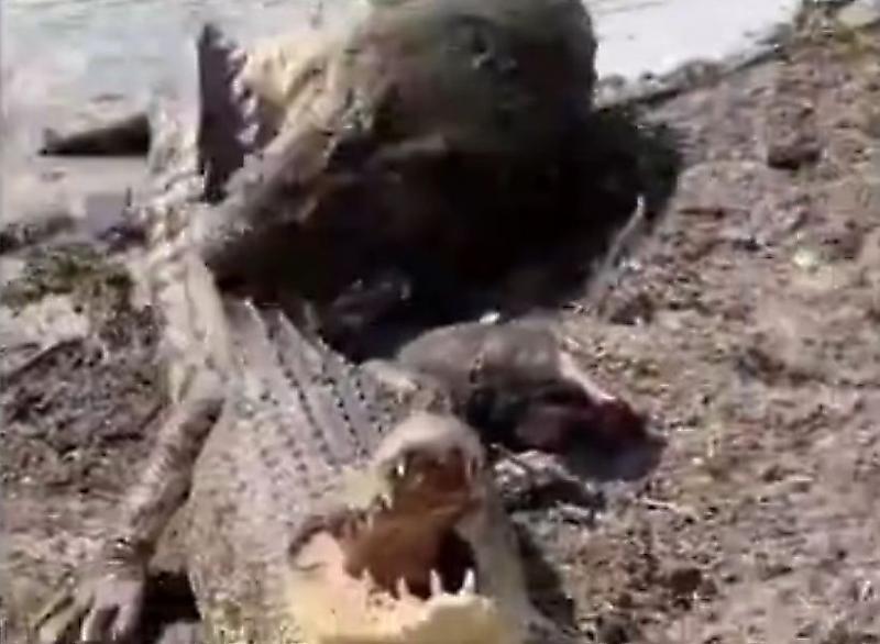 krokodil-atakoval-samku-narushivshuyu-ego-territoriyu-v-avstralii-foto-big