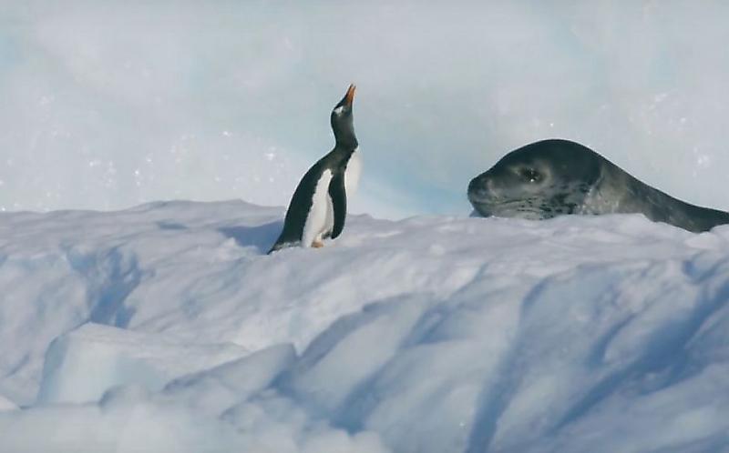 dramatichnuyu-pogonyu-morskogo-leoparda-za-pingvinom-snjali-britanskie-televizionschiki-foto2-big