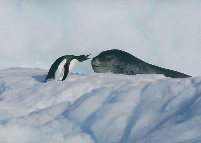 dramatichnuyu-pogonyu-morskogo-leoparda-za-pingvinom-snjali-britanskie-televizionschiki-foto-big (1)
