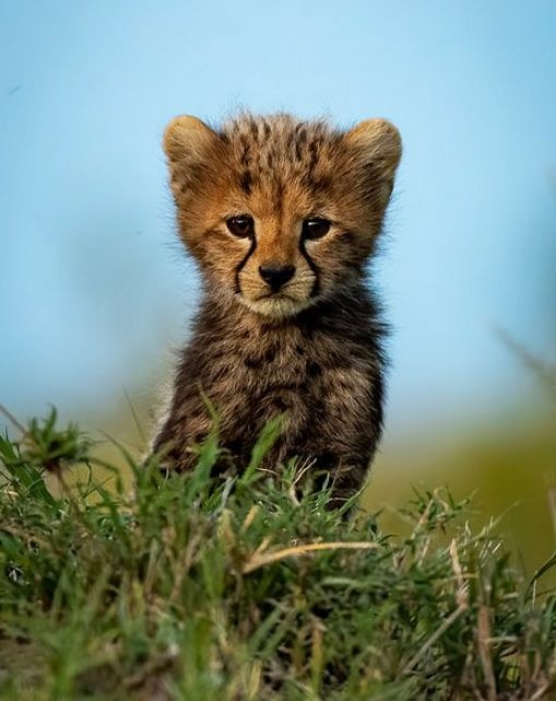 plodovitaja-samka-geparda-rodila-semeryh-detyonyshei-v-zapovednike-masai-mara-lenta-big (8)