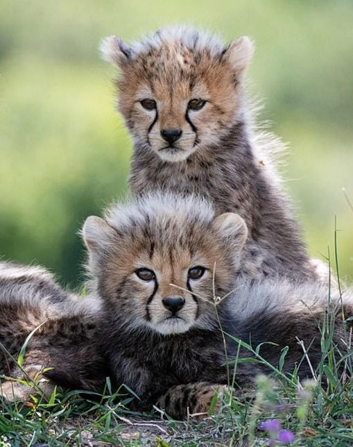plodovitaja-samka-geparda-rodila-semeryh-detyonyshei-v-zapovednike-masai-mara-lenta-big (9)