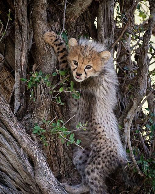plodovitaja-samka-geparda-rodila-semeryh-detyonyshei-v-zapovednike-masai-mara-lenta-big