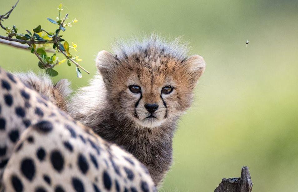 plodovitaja-samka-geparda-rodila-semeryh-detyonyshei-v-zapovednike-masai-mara-lenta-big (5)
