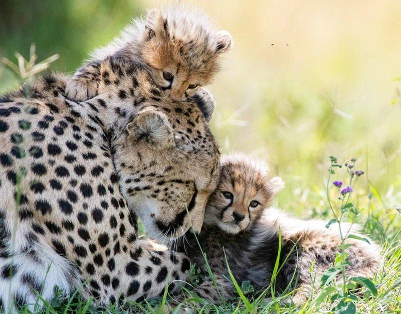 plodovitaja-samka-geparda-rodila-semeryh-detyonyshei-v-zapovednike-masai-mara-lenta-big_73