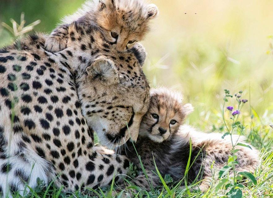 plodovitaja-samka-geparda-rodila-semeryh-detyonyshei-v-zapovednike-masai-mara-lenta-big (1)