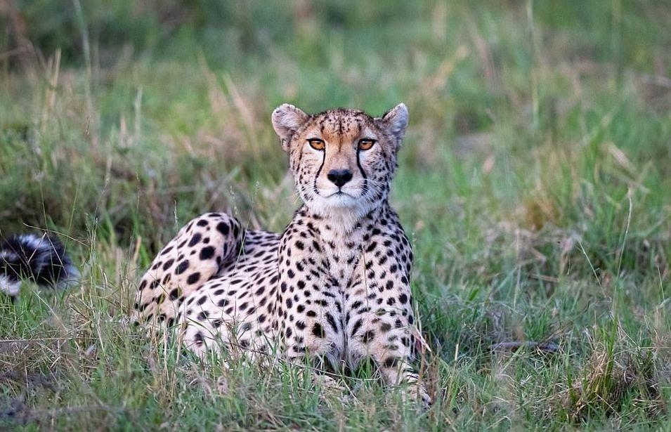 plodovitaja-samka-geparda-rodila-semeryh-detyonyshei-v-zapovednike-masai-mara-lenta-big (3)