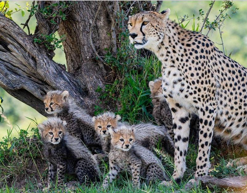 plodovitaja-samka-geparda-rodila-semeryh-detyonyshei-v-zapovednike-masai-mara-lenta-big (2)