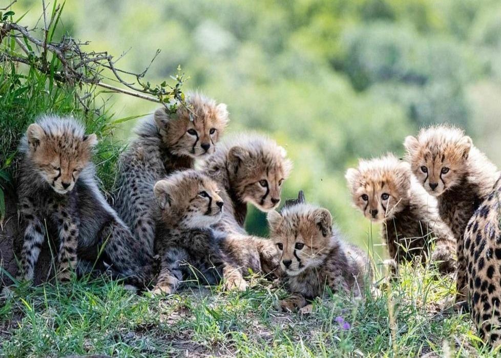 plodovitaja-samka-geparda-rodila-semeryh-detyonyshei-v-zapovednike-masai-mara-foto-big