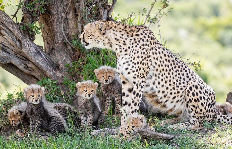 plodovitaja-samka-geparda-rodila-semeryh-detyonyshei-v-zapovednike-masai-mara-lenta-big (4)