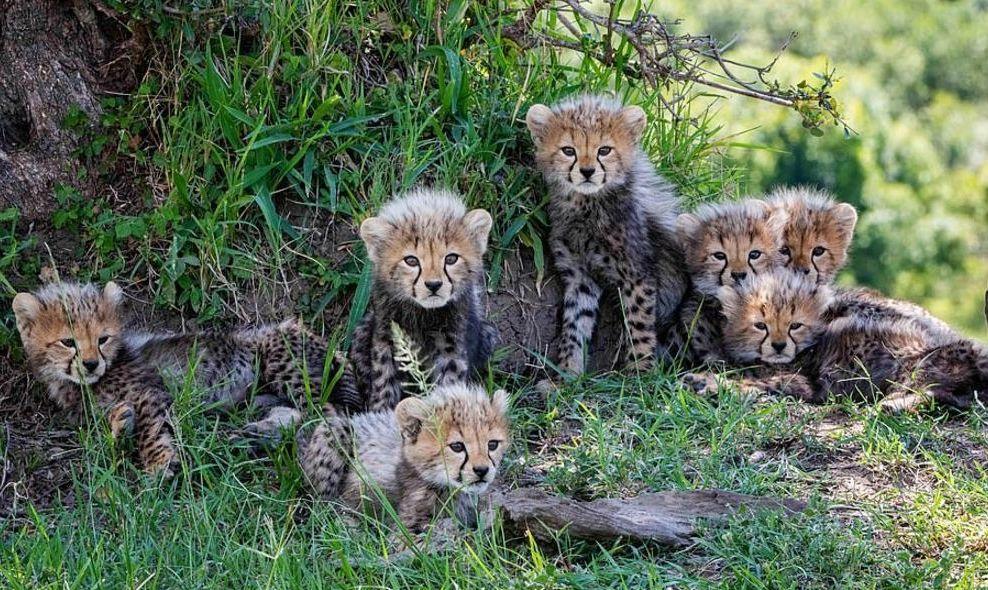 plodovitaja-samka-geparda-rodila-semeryh-detyonyshei-v-zapovednike-masai-mara-foto2-big