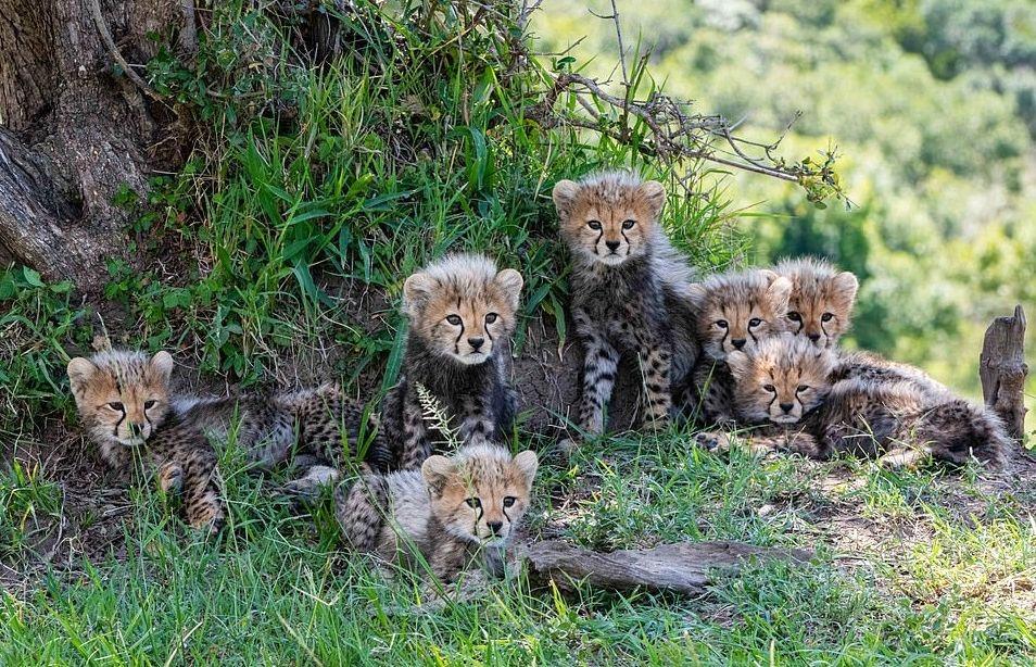 plodovitaja-samka-geparda-rodila-semeryh-detyonyshei-v-zapovednike-masai-mara-lenta-big (6)