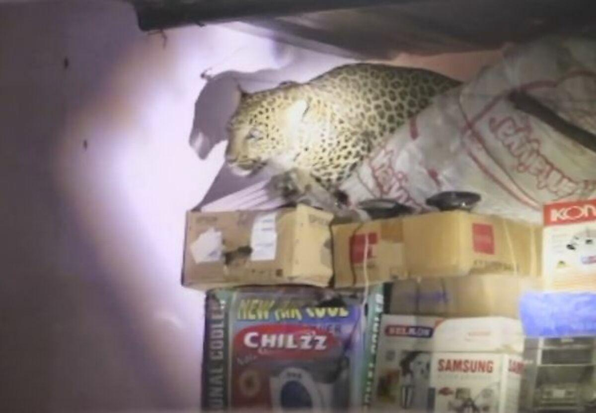 leopard-gonjas-za-sobakoi-ugodil-v-plen-v-indiiskom-zhilische-foto-big