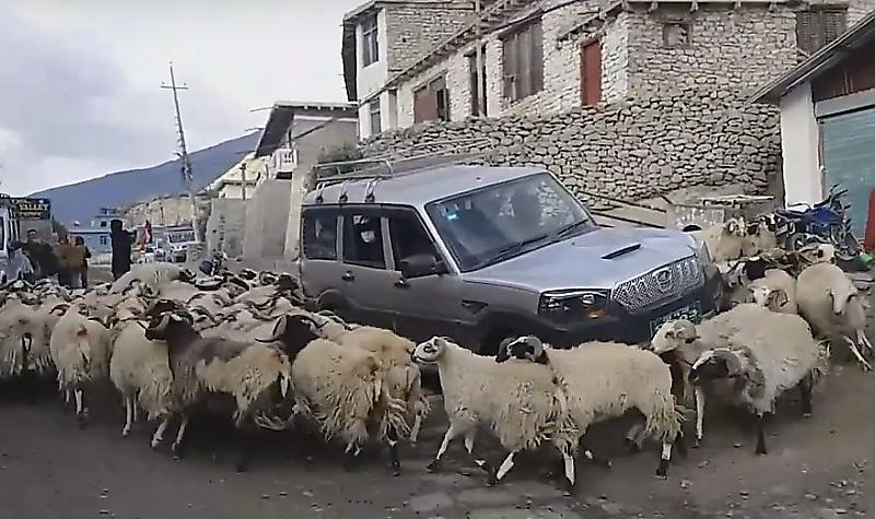 avtomobilist-popal-v-plen-k-ustroivshim-horovod-vokrug-ego-mashiny-ovcam-foto-big