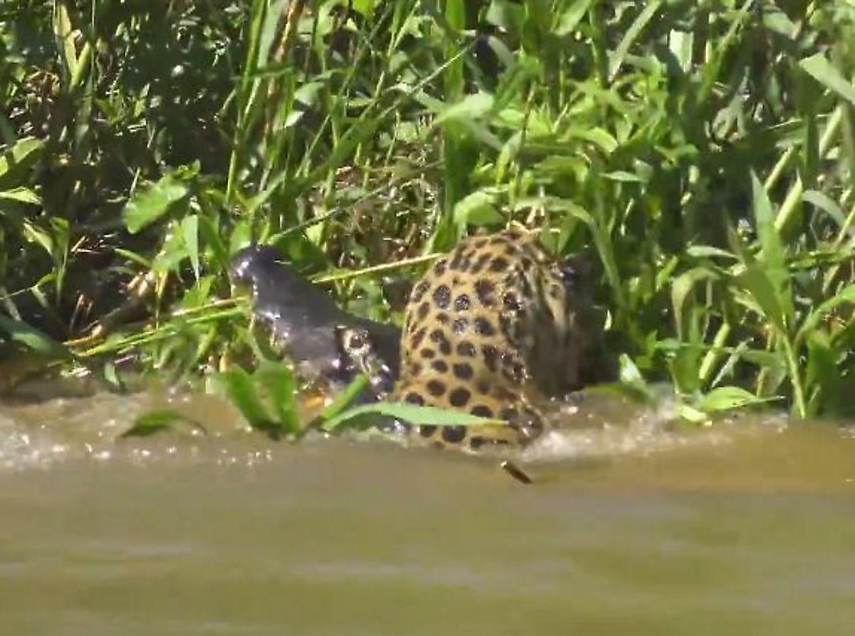 ocherednoi-kaiman-stal-dobychei-jaguara-v-brazilii-foto-big