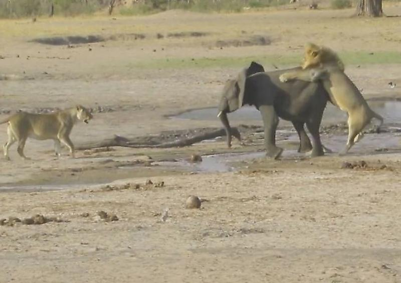 lvy-perehitrili-slonyonka-i-ne-ostavili-emu-shansov-na-spasenie-v-zimbabve-foto-big