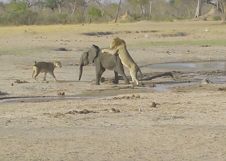 lvy-perehitrili-slonyonka-i-ne-ostavili-emu-shansov-na-spasenie-v-zimbabve-foto2-big